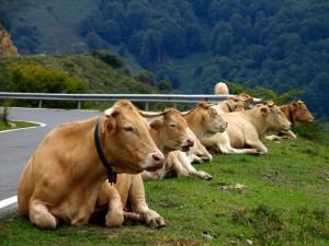 Vacas descansando